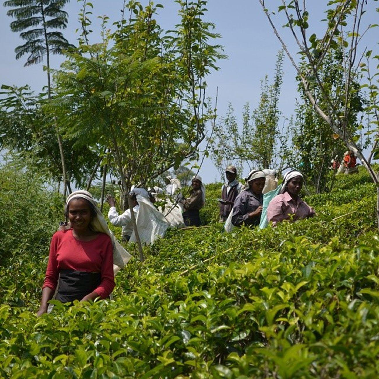Tea leaf picking in Sri Lanka Iamsrilanka EarthInstagram Allshots_ SriLanka srilankatailormade tea ceylon ceylontea thotalagala