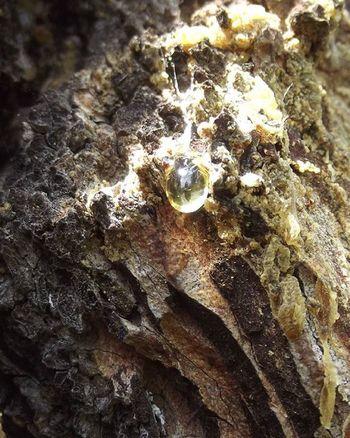 Treegum Gum Bark Wood Tree Nature Glistening Frimleypark Hastings Hawkesbay NZ Newzealand Aotearoa Wmm_brown