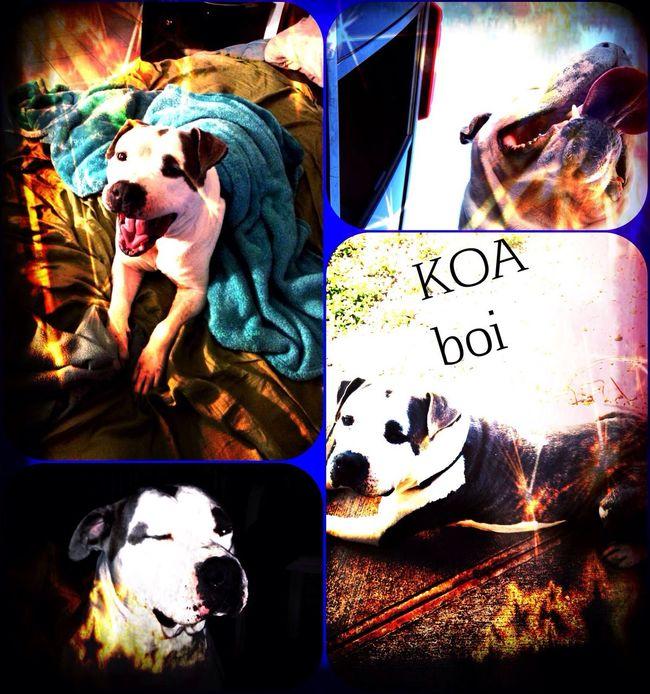 Pitbull pitbulls are the best. Pitbulls Bully koa boi
