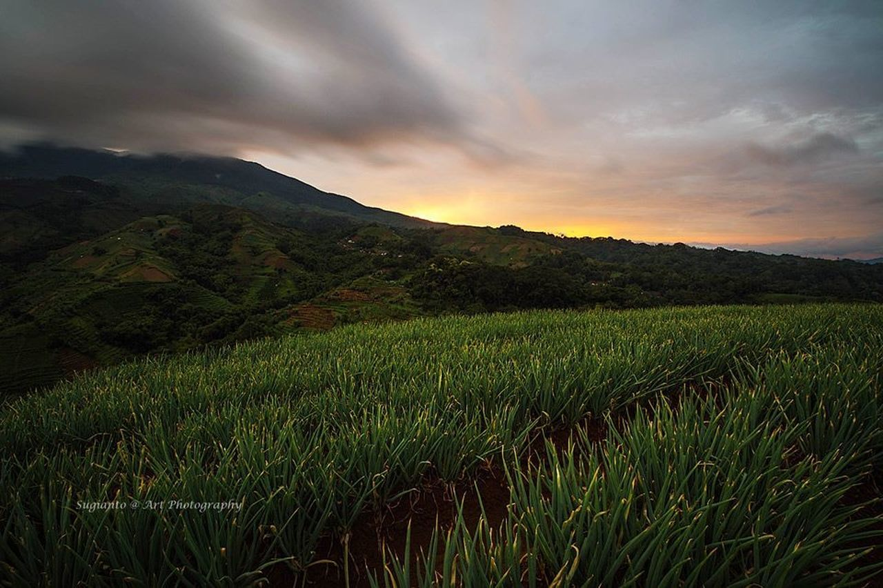 agriculture, field, nature, crop, growth, landscape, mountain, sky, no people, outdoors, rice paddy, scenics, beauty in nature, cloud - sky, tranquility, sunset, rice - cereal plant, cereal plant, rural scene, food, tea crop, terraced field, freshness, grass, tree, day