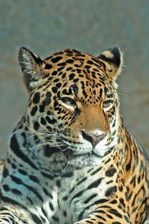 Panthère Panther Animal Animaux Zoo De La Palmyre France Photos Around You