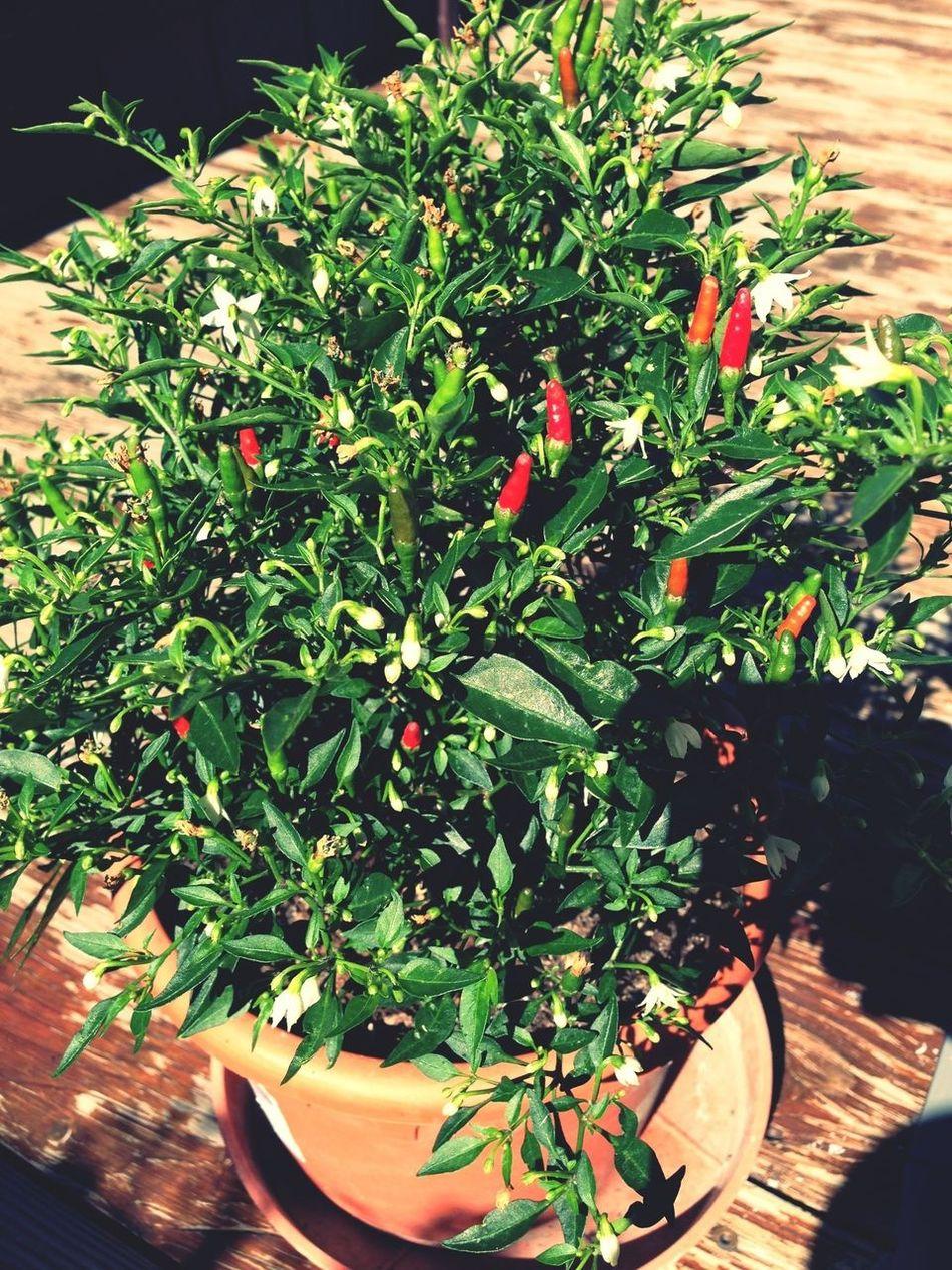 Erntezeit Just Chili