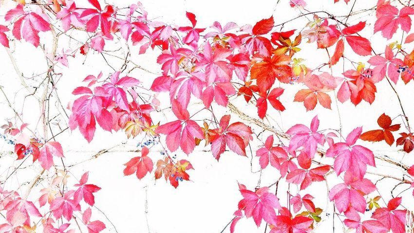 japanesque Autumn Red Vine EyeEm Best Shots