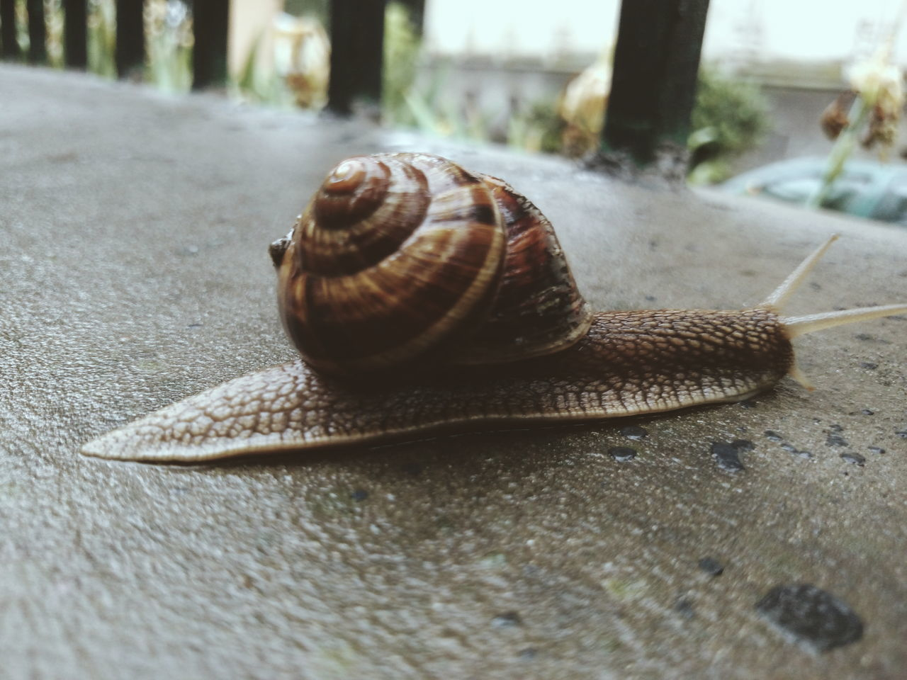 Animal Themes Animals In The Wild Close-up Day Gastropod Molusc Nature One Animal Outdoors Snail Snail🐌