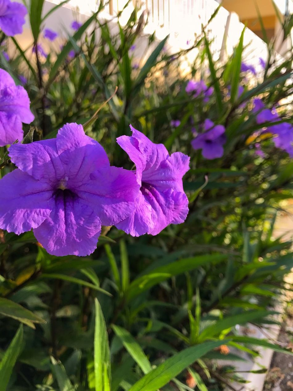 Purple Flowers Purple Flower Flowers Garden Flowers Beauty Flowers In The Morning Light Ruellia Garden Flowers Purple Purple And Green Violet Flowers Nature Nature Photography Outdoors No People Nature Collection Nature Beauty Flowers,Plants & Garden Nature_collection Flor Jardin Violeta