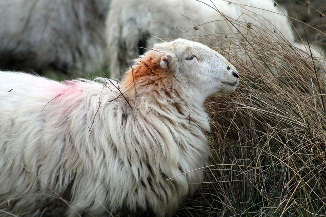 Animal Hair Animal Themes Livestock Travel Photography Animal Photography Sheep Farm Sheep🐑 Sheep Sheep Meadow Sheep Pasture Farm Animals Farm Life Farming Farm Animal Wales❤ Wales UK Walesonline Wales Lake Vyrnwy