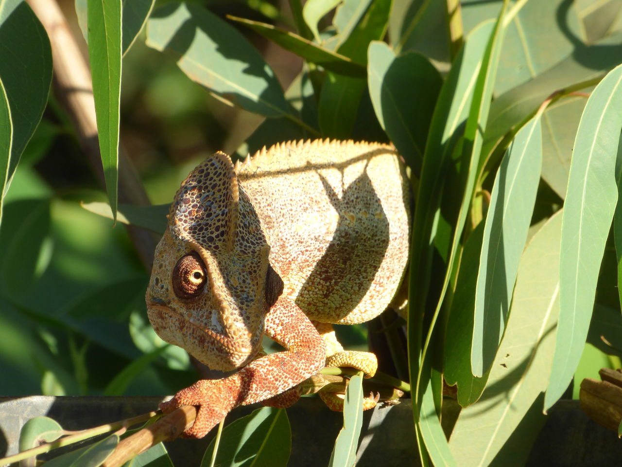 Animals In The Wild Chameleon Madagascar  Mimetism Nature Single Animal Tropical Animal