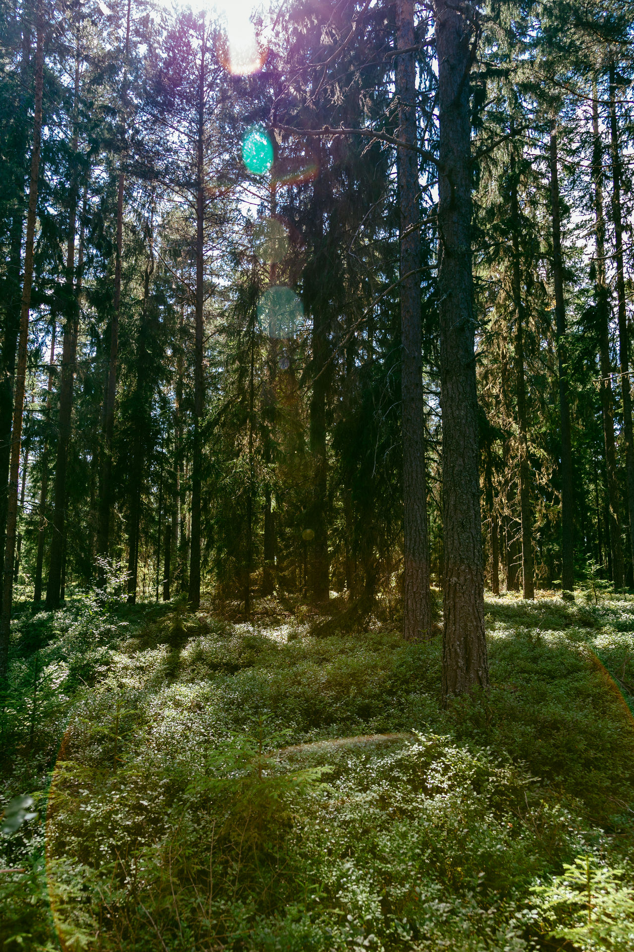 Swedish forest in summer Beauty In Nature Dalarna Day Forest Green Color Growth Landscape Nature No People Outdoors Scenics Summer Sweden Swedish Swedish Nature Tranquility Tree Tällberg