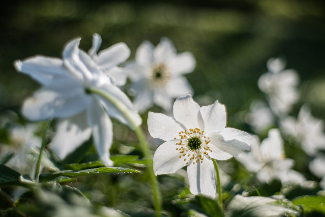 Beauty In Nature Blooming Close-up Day Field Flower Flower Head Fragility Freshness Growth Live For The Story Nature No People Outdoors Petal Plant The Great Outdoors - 2017 EyeEm Awards White Color Wood Anemone
