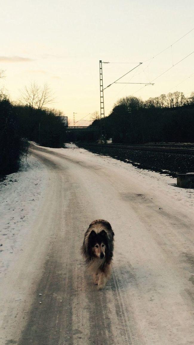Fussel Mein Hund Fussel Collie Hund MeinHund Spatziergang
