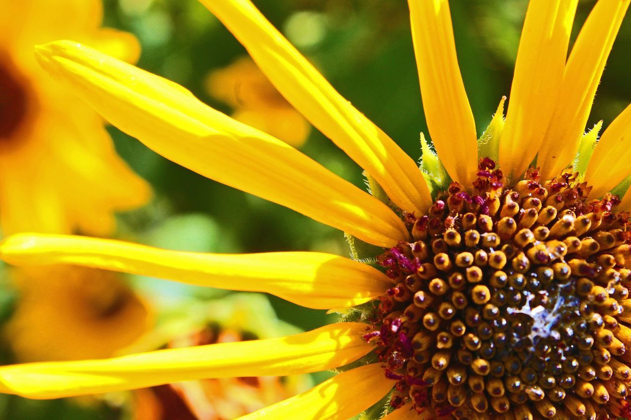 flower, yellow, petal, nature, growth, beauty in nature, fragility, freshness, close-up, sunflower, flower head, plant, pollen, outdoors, no people, day, springtime, blooming