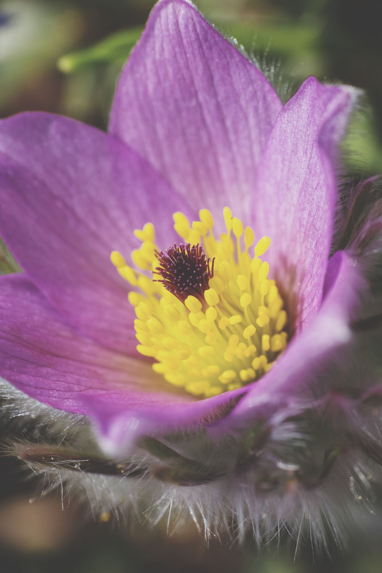 ©338 Pulsatilla Flower Flower Head Pollen Pink Color Close-up Blooming EyeEm Best Shots Germany Pollination Spring Springtime Spring Flowers I LOVE PHOTOGRAPHY Simple Quiet Love Taking Photos EyeEm Gallery Showcase March Flowers,Plants & Garden Fineart Macro EyeEm Macro Extreme Close-up Millennial Pink Flowerporn My Unique Style