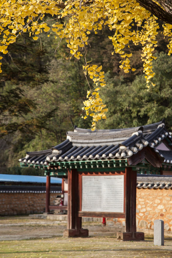 Jangsu Hyanggyo, Jangsugun, Jeonlabukdo, South Korea Architecture Autumn Built Structure Cultural Heritage Cultures Day Fall Ginkgo In The Past Korean Traditional Architecture No People Old Outdoors Place Of Worship Religion Spirituality Tiled Roof  Travel Destinations Tree