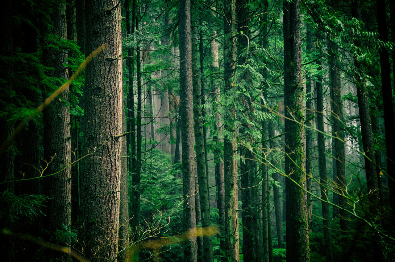 Deep Dramatic Evergreen Forest Green Color Nature Outdoors Pacific Northwest  Tranquility Tree Tree Trunk WoodLand