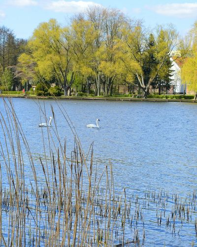 Tree Outdoors Nature Day No People Sky Water Plant Lake Beauty In Nature Tranquility Growth Spring Swans Scenics Nikon D3200 Nikonphotography