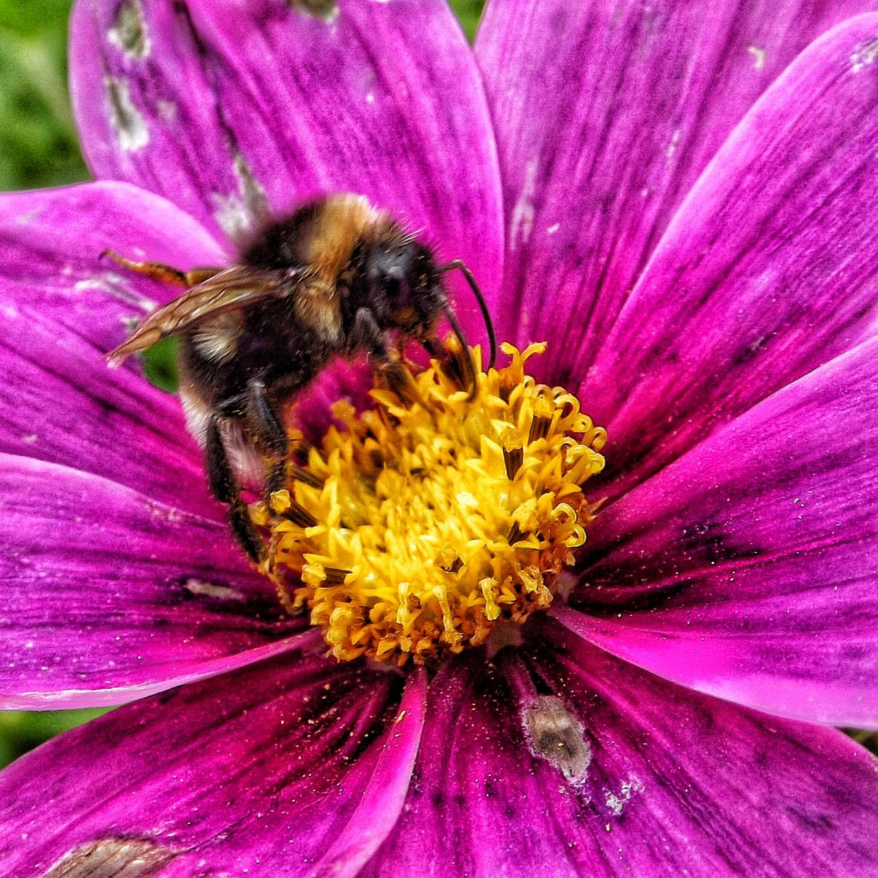flower, petal, fragility, insect, beauty in nature, freshness, nature, flower head, animals in the wild, pollen, animal themes, growth, no people, outdoors, one animal, purple, plant, pollination, bee, day, pink color, yellow, close-up, bumblebee, blooming