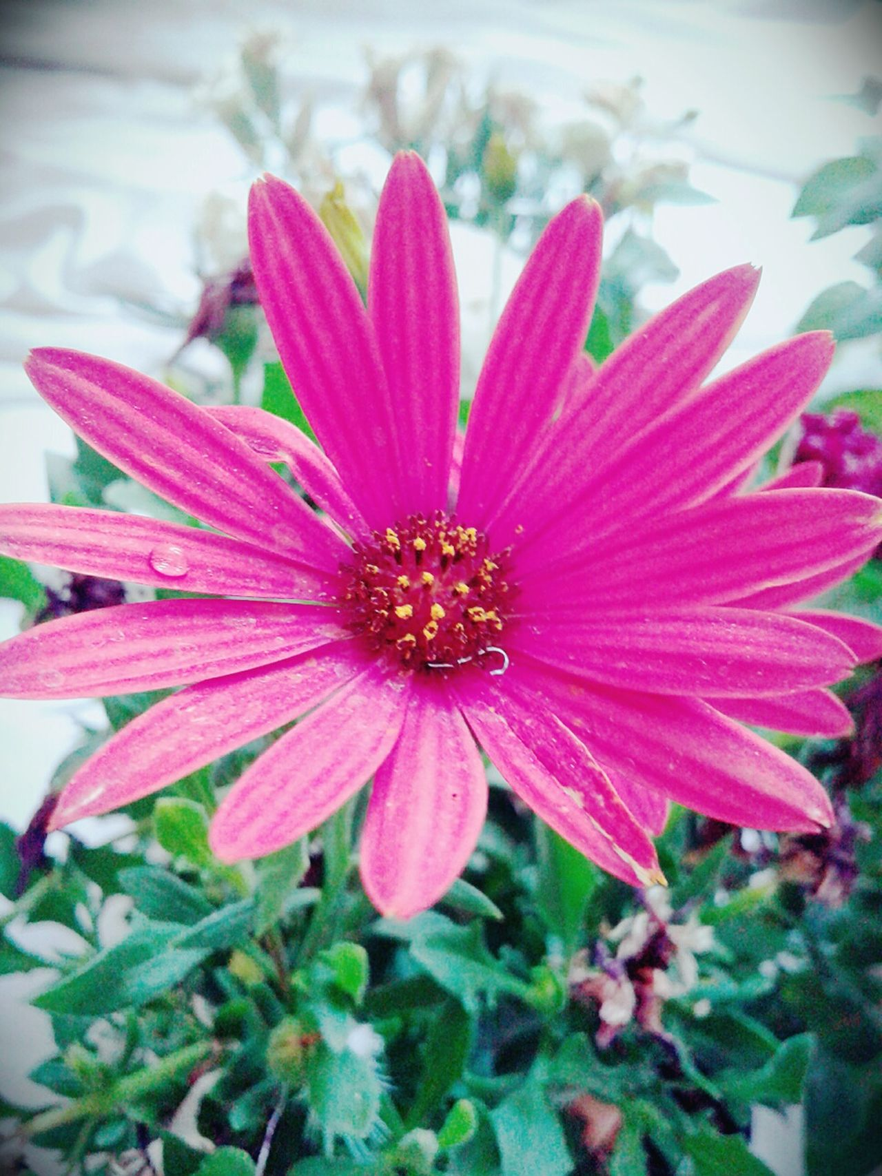 Pink daisy Pink Flower Daisy Flowers Nature Green Pink Daisy Plant Spring
