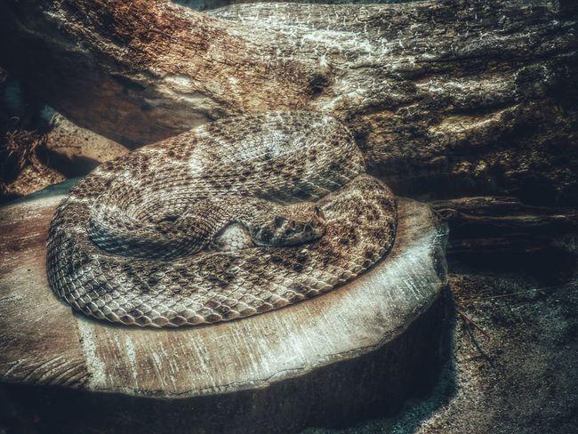 Klapperschlange Schlange  Tiere Tier Animal Animal Photography Animals Tierfotografie Reptilien Reptile