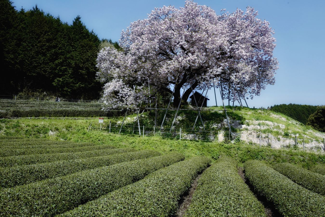 Agricultural Note Alternative : Hyakunen Sakura ( 100 years Cherry Blossoms Growth Tree ) in the Japanese Green Tea Plantation  Today's Hot Look Today Weather Report Beauty In Nature Agriculture ASIA Nandoryo Ureshino Saga,Japan 佐賀県 嬉野 納戸料の百年桜 Landscape_photography Japan Photography