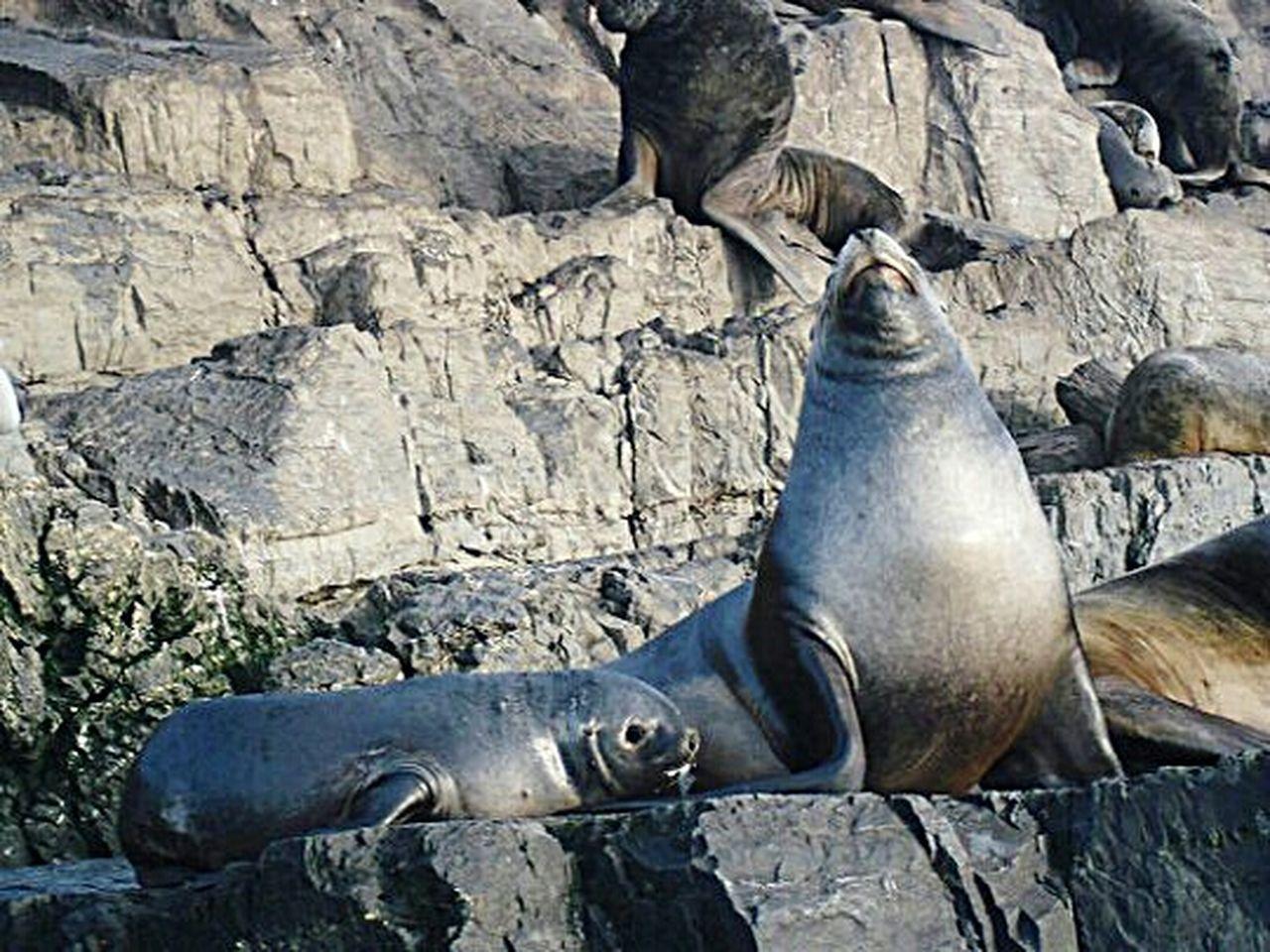 Animal Themes Animals In The Wild Animal Wildlife Aquatic Mammal Seal - Animal Sea Lion Nature Mammal Outdoors Reflection Canal Beagle Seal Travel Argentina Fin Del Mundo Ushuaïa Sea