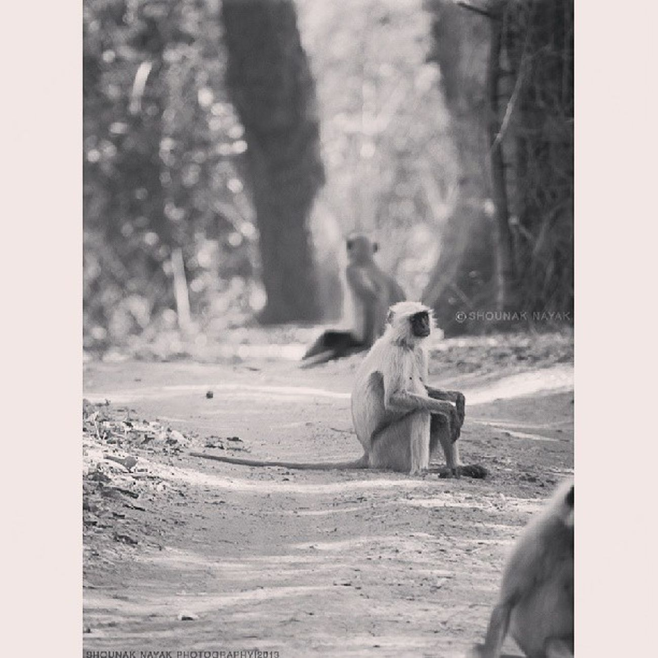Waiting. ShounakNayakPhotography Bandhavgarh Wildlife Langur