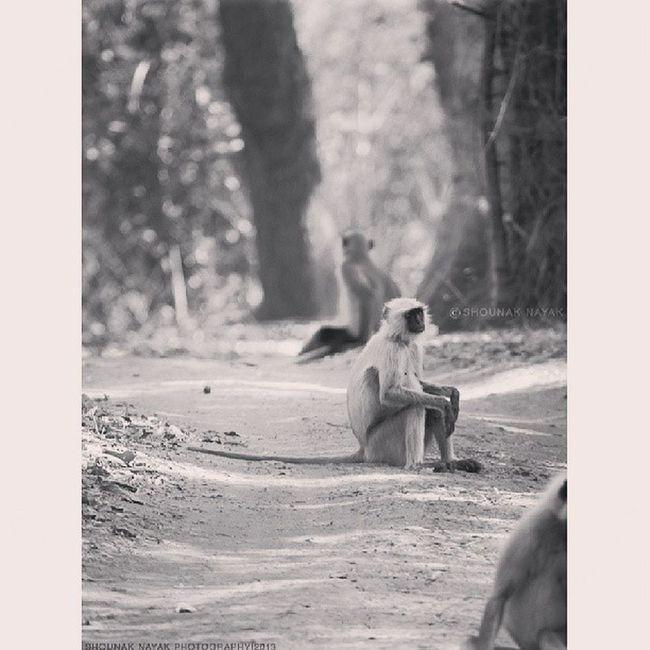 Waiting. ShounakNayakPhotography Bandhavgarh Wildlife Langur