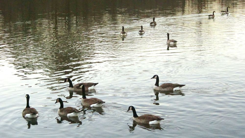 Geese Family Geese Gathering Geese At The Lake Naturelover❤ Natures Beauty Lake Beauty Beauty Everywhere