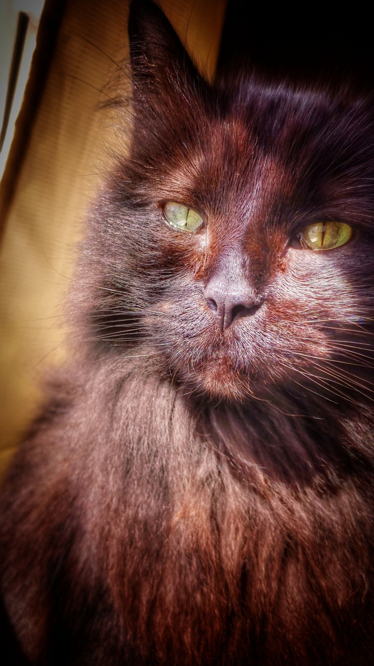 One Animal Domestic Cat Pets Animal Themes Domestic Animals Feline Mammal Close-up No People Whisker Indoors  Portrait Nature Day Black Cats Are Beautiful Long Haired Cat