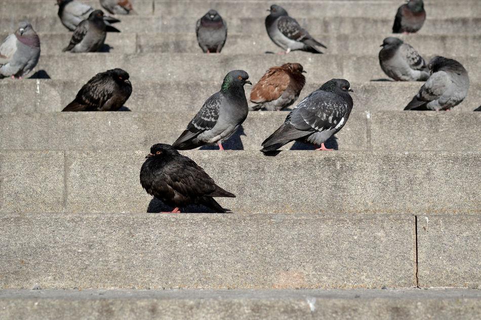 Animal Animal Themes Animal Wildlife Animals Animals In The Wild Austria Birds Hierarchy Nature No People Outdoors Pigeon Pigeons Street Vienna