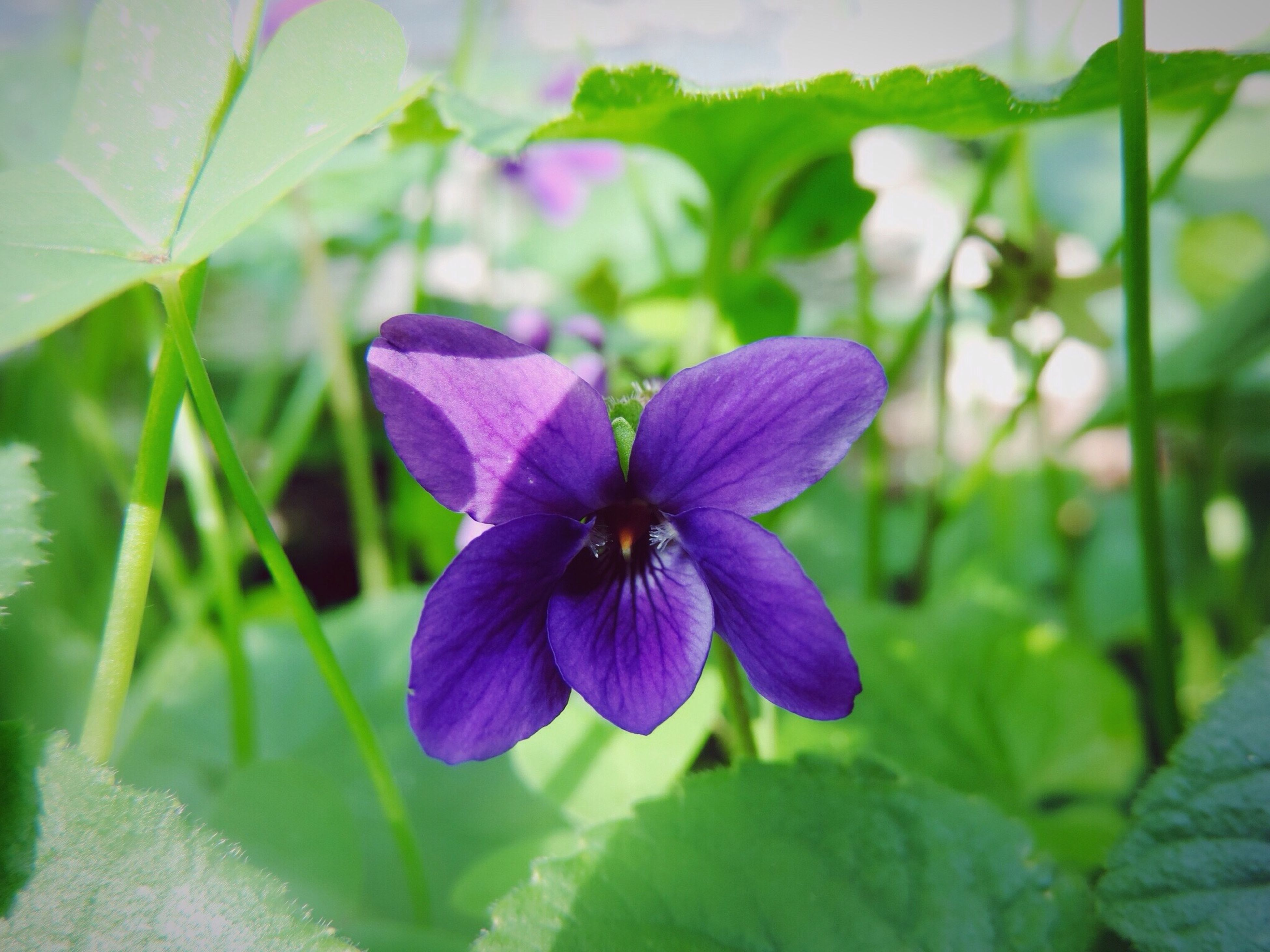 flower, purple, freshness, fragility, petal, flower head, growth, close-up, beauty in nature, in bloom, focus on foreground, springtime, nature, plant, selective focus, single flower, botany, blooming, blossom, park - man made space, clematis, vibrant color, day, outdoors, purple color, green color, no people, softness, tropical flower