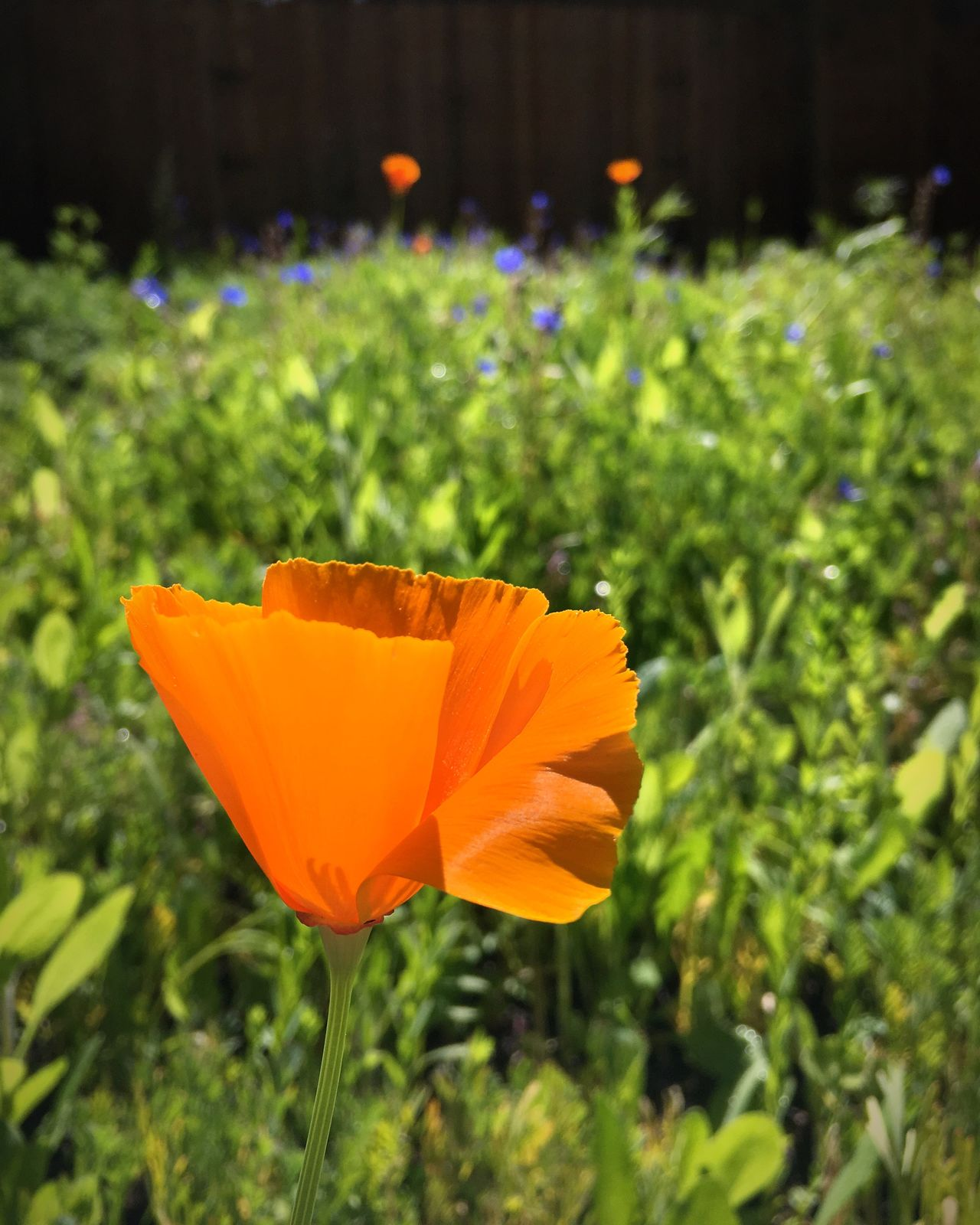 Poppy Flower California Poppy Orange Focus On Foreground Flowers Taking Photos Light Still Life Fence Yard California Focus EyeEm Best Shots Nature EyeEm Nature Lover Pollen Growing Growth Orange Flower The Great Outdoors - 2016 EyeEm Awards Nature People And Places