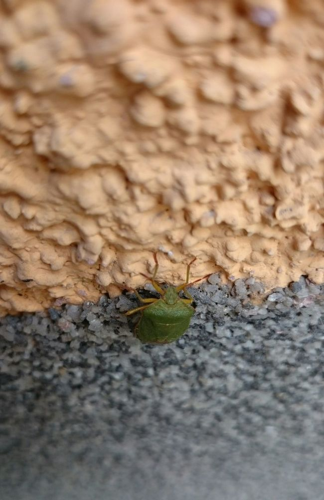 Stinkbug Green Stink Bug