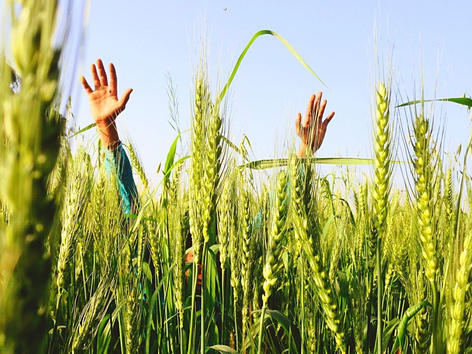 Beautiful stock photos of outdoors, Agriculture, Clear Sky, Close-Up, Crop