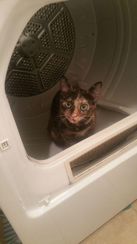 Tortoiseshell Cat Dryer  Curious Cat Trouble Animal Inside
