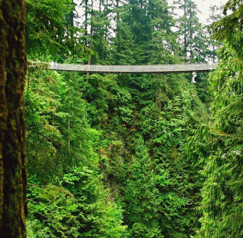 Tree Forest Growth Nature Green Color Tranquility Day No People Outdoors Tranquil Scene Beauty In Nature Scenics Bridge Hanging Bridge