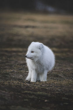 Arctic Fox Fox🐺 Iceland Animals In The Wild Fox Mammal One Animal Outdoors Wildlife