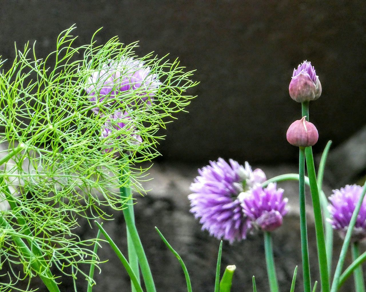 Fennel and chives...welcome residents in my garden...💚 Freshness Fresh Herbs  Fennel Feathery Leaf Chives Chiveflower New Growth Flavour Flower Purple Fragility Beauty In Nature Plant Flower Head Blossom Close-up EyeEm Nature Lover Love Life ❤ Healthy Eating Green Color Selective Focus