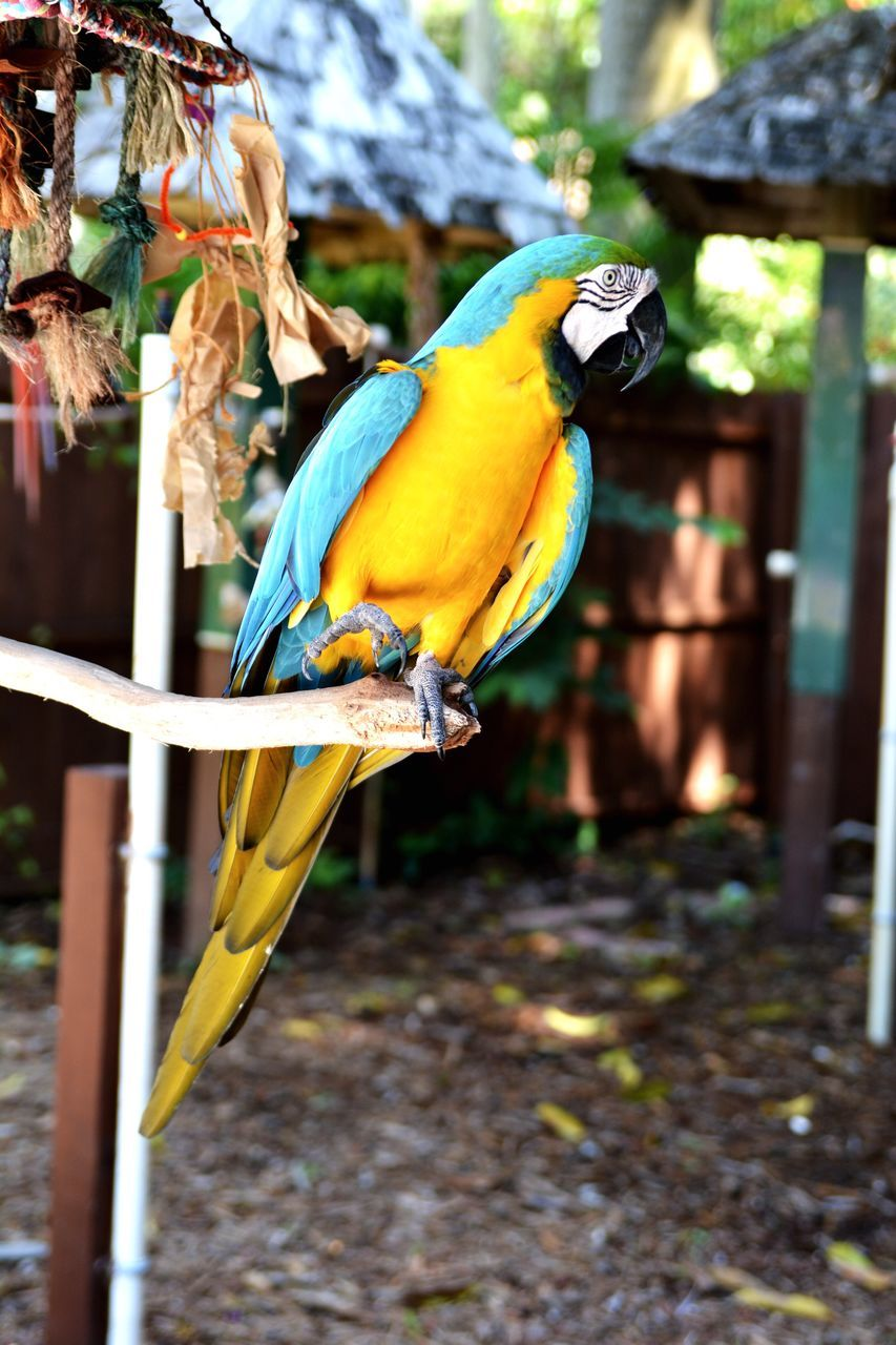 animal themes, bird, one animal, gold and blue macaw, animals in the wild, parrot, no people, perching, focus on foreground, macaw, animal wildlife, day, outdoors, yellow, beauty in nature, beak, nature, close-up