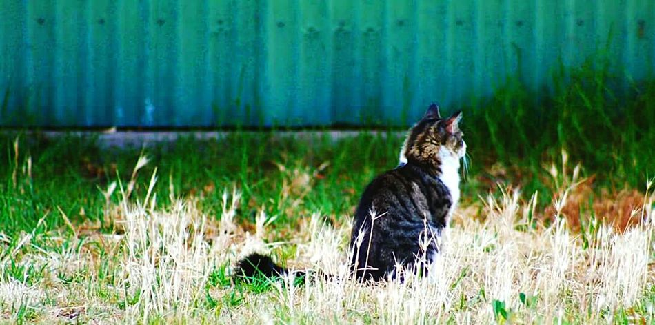 Contemplation cat Cat♡ Contemplative Cat In The Garden Tin Fence