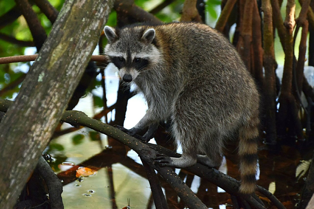 Beautiful stock photos of raccoon,  Animal Themes,  Animal Wildlife,  Aventura,  Day
