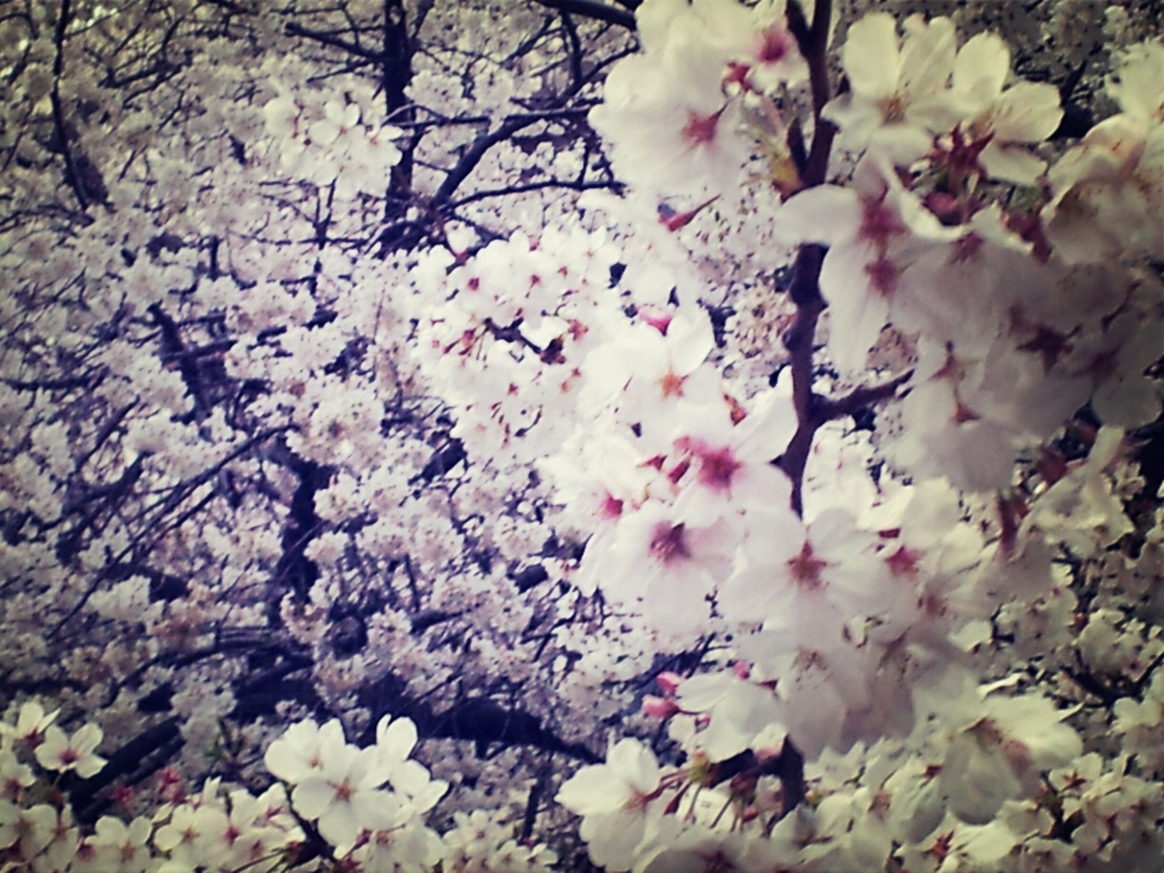 flower, freshness, fragility, branch, growth, tree, cherry blossom, beauty in nature, pink color, blossom, cherry tree, nature, petal, low angle view, in bloom, springtime, blooming, backgrounds, pink, close-up