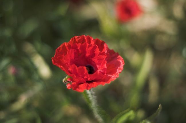 Beauty In Nature Flower Red Blossom Plant Red Flower Growth FreshnessNo People Red Color Flower Head Poppy Flowers Poppy