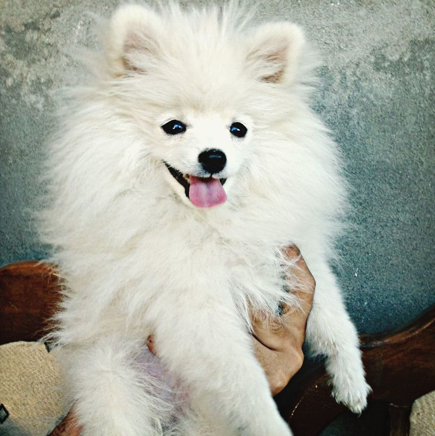 Pomeranian white male for sale 3 months whatsapp number +77084627370 Cheese! Dogs Pomeranian Pompom
