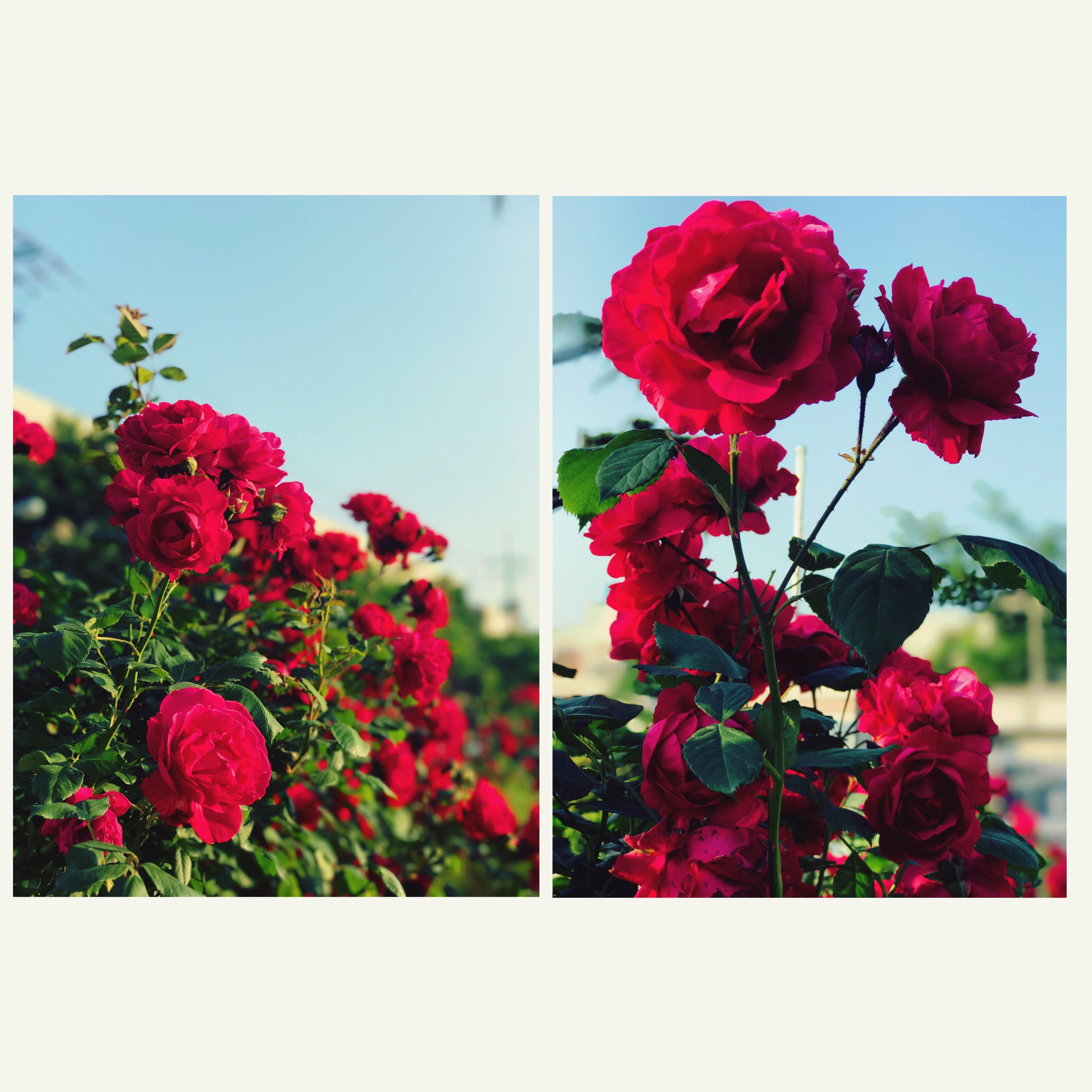 flower, nature, beauty in nature, growth, plant, fragility, petal, freshness, red, flower head, collage, no people, blooming, outdoors, close-up, day