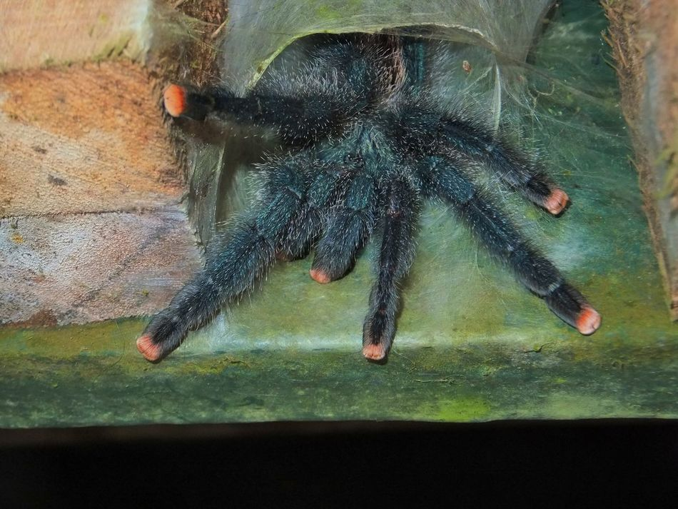 Tarantula in his web-burrow Animal Animal Wildlife Animals In The Wild Big Spider Brownsberg EyeEmNewHere Nature Nature Reserve Outdoors Scary Spider South America Spider Spider Web Spiders Spidersweb Suriname Tarantula Tarantula Web Web