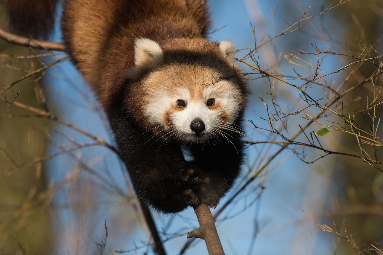 Red panda climbing Animal Themes Animal Wildlife Animals In The Wild Close-up Day Low Angle View Mammal Nature No People One Animal Outdoors Portrait Red Panda Tree