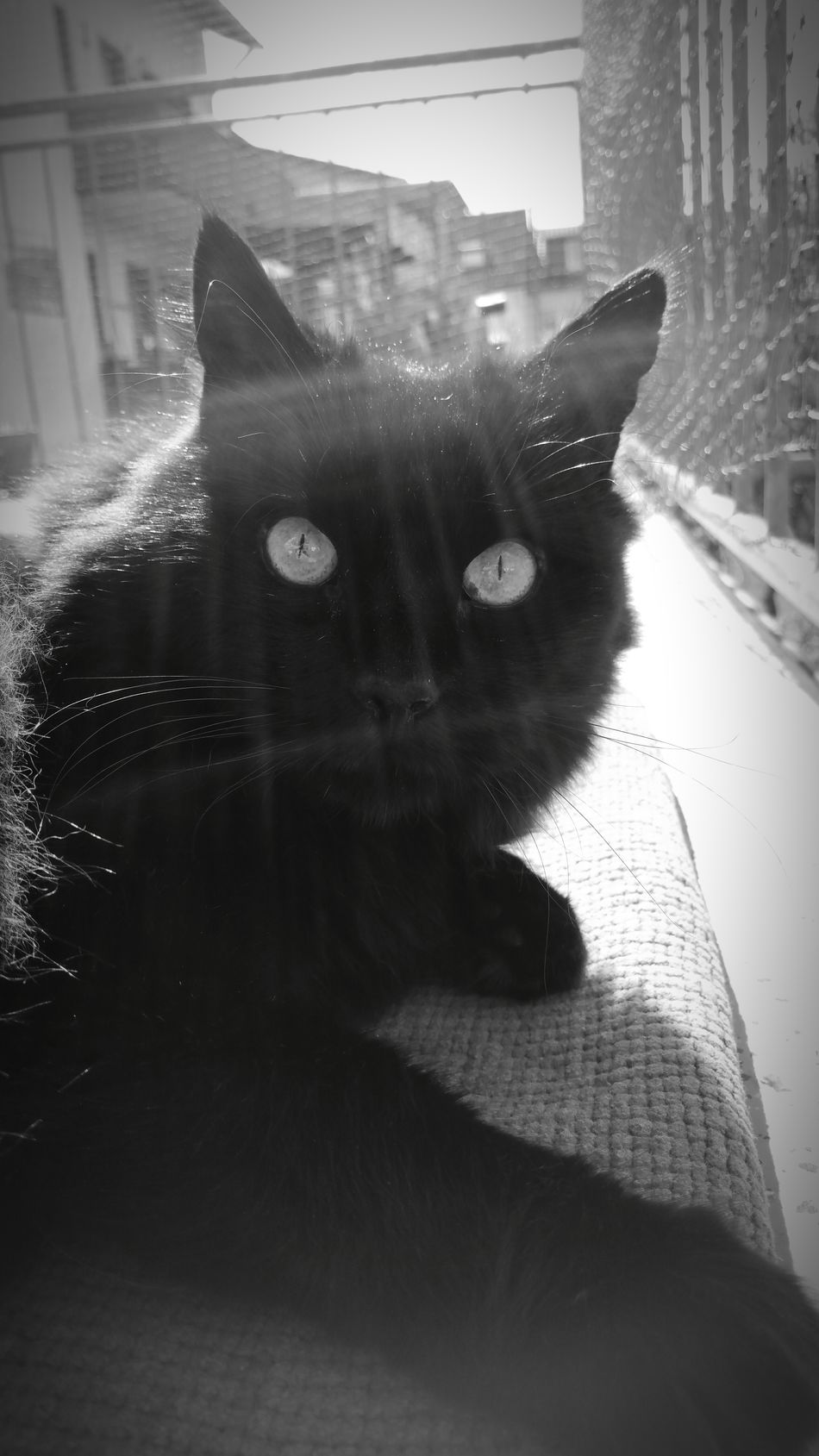 BLackCat Cat Catface Springtime Close-up Spring Animals Lovemycat Bw Blackandwhite Sunrays Sunlight Sunny Day