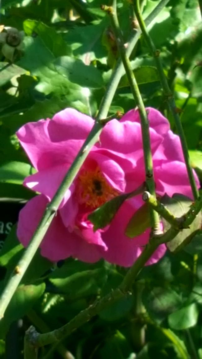 Flower Pink Color Beauty In Nature Garden Roses Flowers
