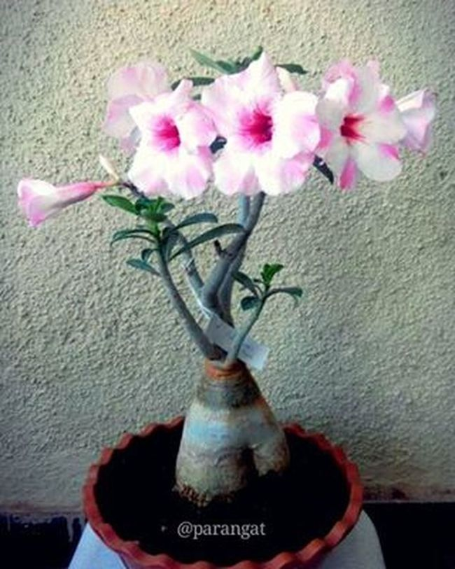 🌸Adenium that delightfully delicate desert rose, that same alluring adenium multiflorum bearing the wondrous pinkish-fuchsia petals & white outlining angles is just amazing 🌸 💠💠💠💠💠💠💠💠💠💠💠💠💠💠💠💠💠 Adenium Desertrose Plants Nature Rosa Flowerstagram Flowers Photography Adeniumlover Flora Instaflowers Instagram Instalove Instalike Pink White Super_flowers Instamood