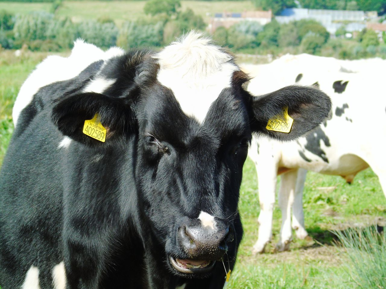 Animal Themes Animal Head  Domestic Cattle Livestock Field Front View Animal Nose Nature Nature On Your Doorstep Somerset Levels Uk In All Its Glory Green Color Looking At Camera Herbivorous Snout
